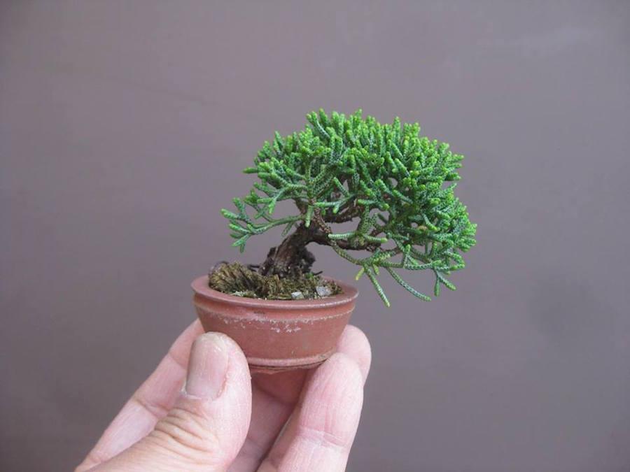 01-juniper-mini-bonsai