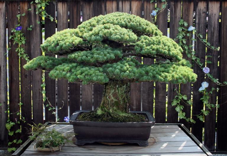 01bonsai-adapt-768-1