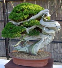 crazy_bonsai_tree_74