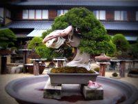 najstariji-bonsai-od-juniperusa