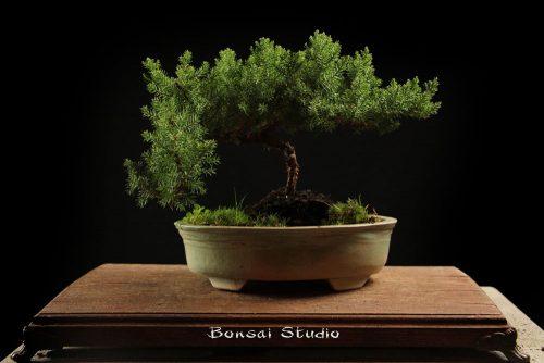 Bonsai Beograd