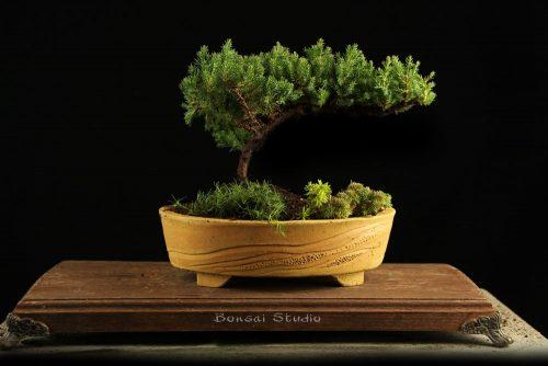 poklon ideja bonsai drvo