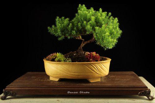 Bonsai na prodaju