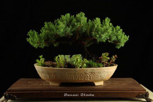Bonsai drvo, poklon ideja