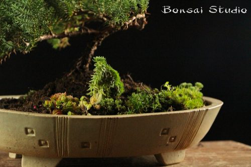 Poklon ideje, bonsai