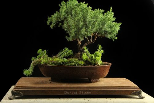 bSOBONSAI TREE