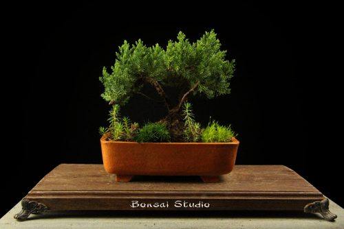 bonsai drvce