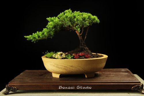 Bonsai prodaja (poklon ideja)