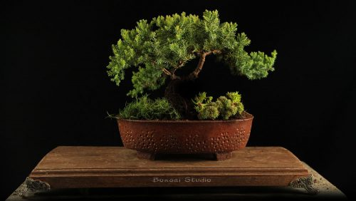 bonsai poklon ideja