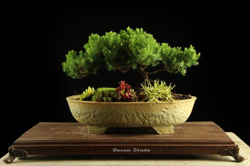 bonsai drvo, beograd