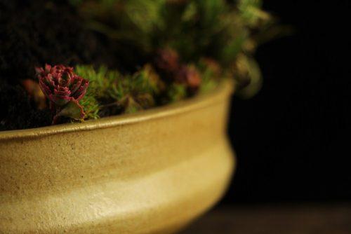 detalji, bonsai Srbija