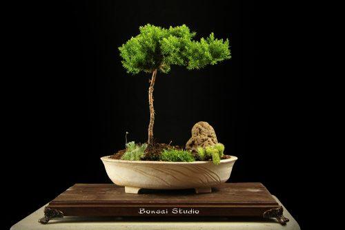 bonsai drvo poklon ideja