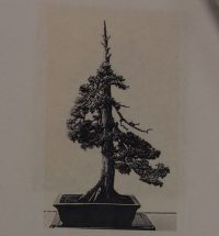 Bonsai juniper star 50 godina