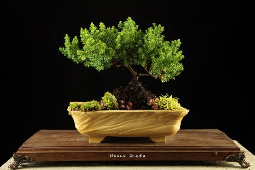 Bonsai drvo kao novogodišnji poklon