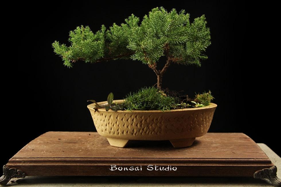 Bonsai zimzeleno drvo