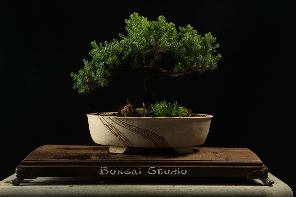 Bonsai drvo a20
