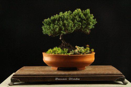 Bonsai drvo  ideja za poklon