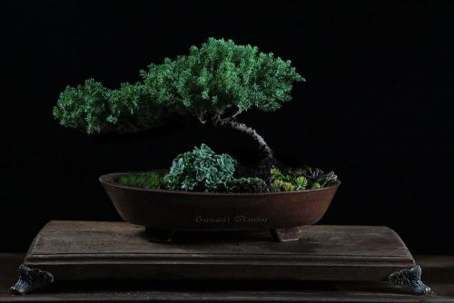 Drvo bonsai