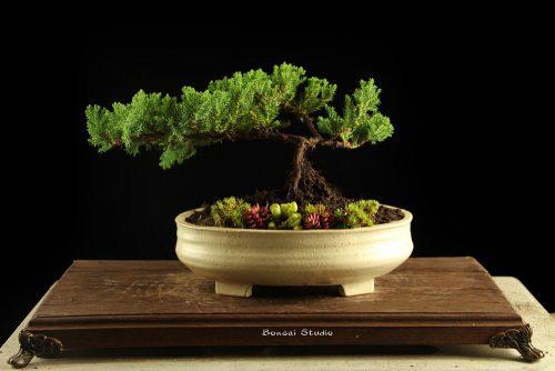 bonsai drvo, poklon ideje