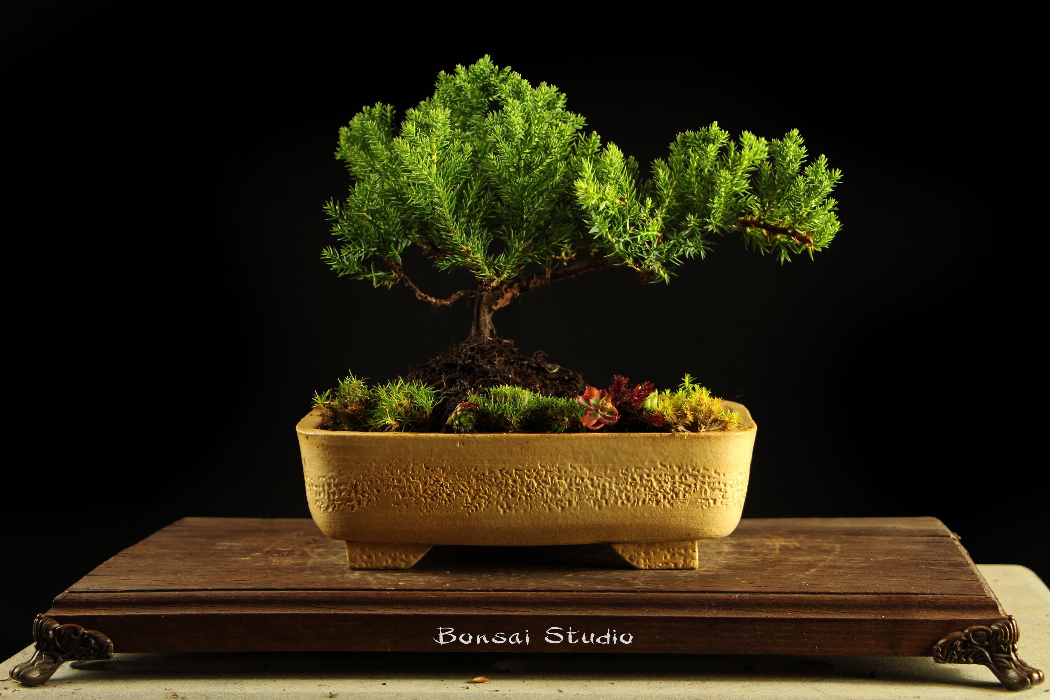Bonsai drvo Beograd