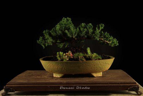 Bonsai drvo Srbija