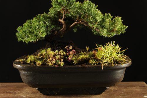 Bonsai drvce