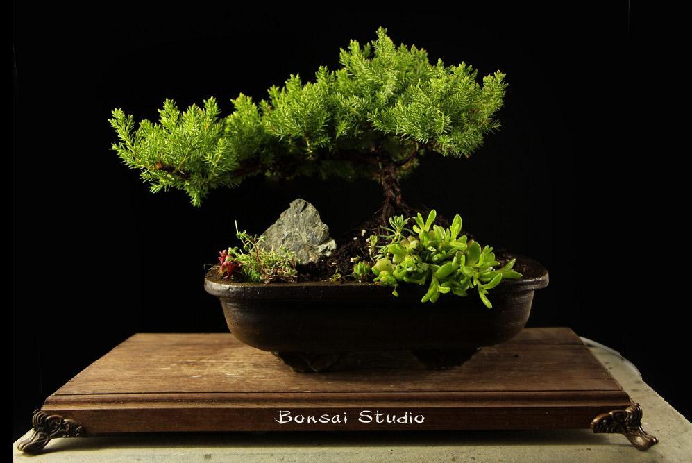 poklon za nju, ideje, bonsai drvo