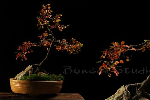 Bonsai lišćar