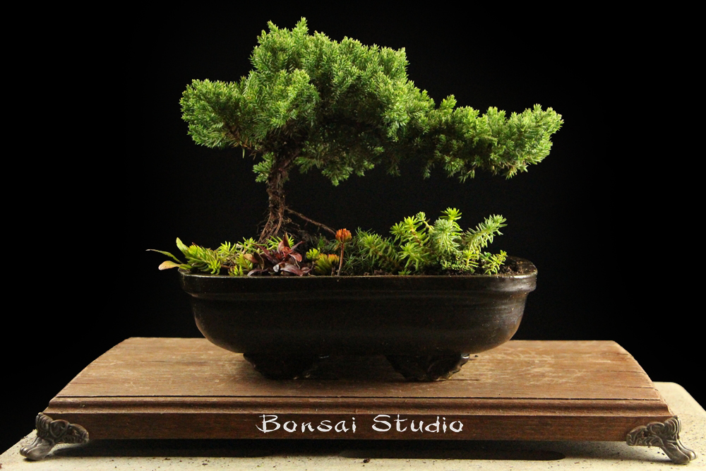 BW bonsai serija