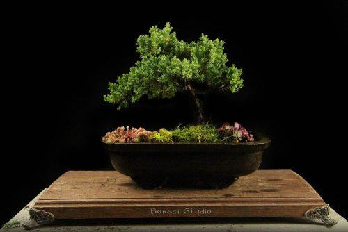 Bonsai drvo na prodaju
