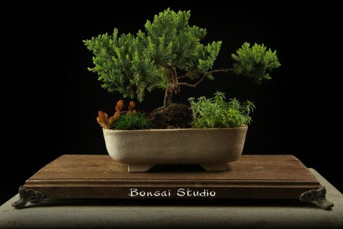 bonsai drvo