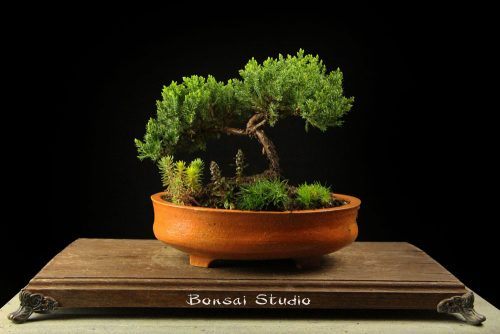 bonsai drvo prodaja