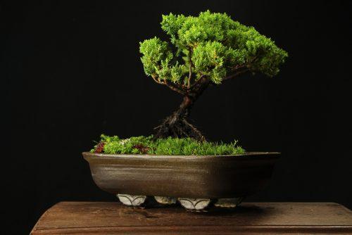 Bonsai na prodaju (poklon ideje)