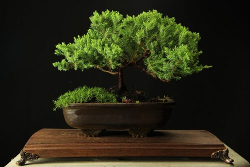 Bonsai (poklon ideje)
