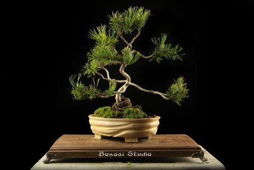 Pinus bonsai, bor
