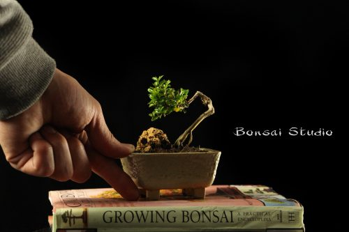 Mame bonsai drvo