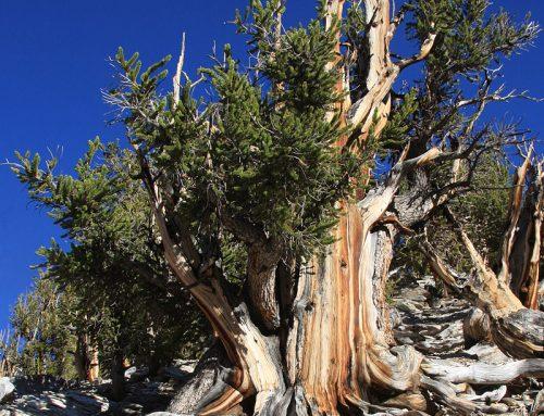 Najstarije drvo na svetu je živo!