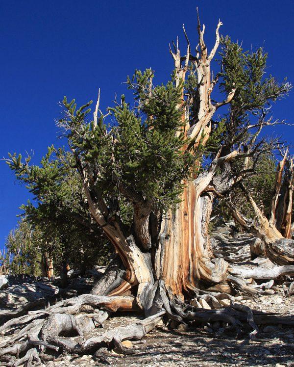 Najstarije drvo na svetu