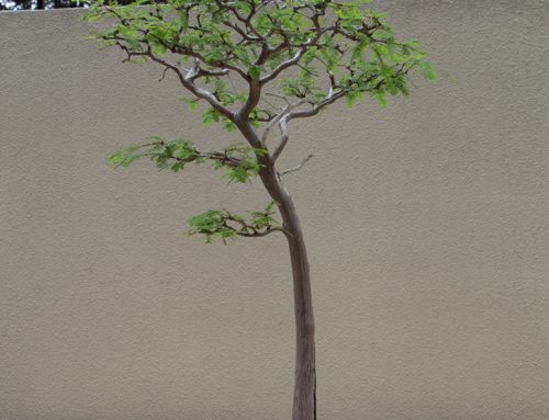 Pacifik je novi raj za bonsai